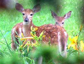 gardens protected by deer repellent